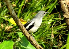 The Magpie Robin is National bird of Bangladesh stock images