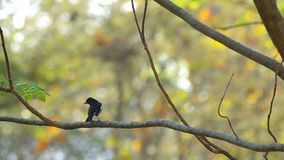Magpie robin is resting and fly away. Magpie robin is resting on the tree branch and fly away stock video footage