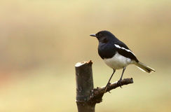 Magpie robin Royalty Free Stock Images