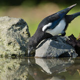 Magpie on a rock Stock Photo