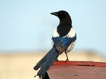 Magpie on a roof of garage. Magpie, photographed on a roof of garage at light of a sunset Stock Photo