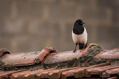 Magpie on a roof in the rain. Magpies are birds of the Corvidae crow family. The black and white Eurasian magpie is widely considered one of the most intelligent Stock Photo