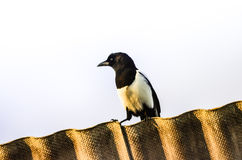 Magpie on rooftop Royalty Free Stock Photo