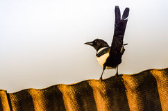Magpie on rooftop Royalty Free Stock Images