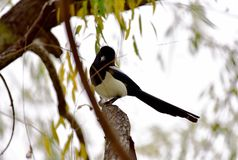 The magpie branch - Angelo royalty free stock photo