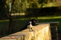 Magpie on the scroung Stock Photo