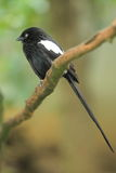 Magpie shrike. The pagpie shrike on the branch Stock Photos