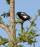A magpie shrike Stock Image