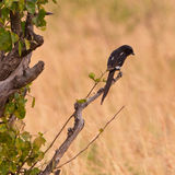 A Magpie Shrike on a branch Royalty Free Stock Photography