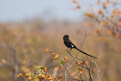 Magpie Shrike Royalty Free Stock Photo