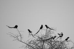 Magpie Shrike. A group of Magpie Shrikes in a tree top early morning Stock Photography