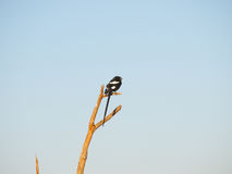 Magpie shrike Royalty Free Stock Images