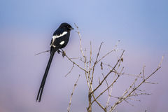Magpie Shrike in Kruger National park, South Africa Royalty Free Stock Photography