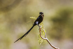 Magpie Shrike in Kruger National park, South Africa Royalty Free Stock Image