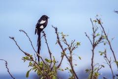 Magpie Shrike in Kruger National park Stock Images