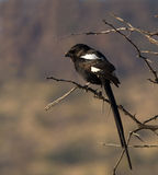 Magpie shrike perched on thorn tree. With small spider in his beak royalty free stock photos