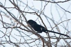 Magpie Shrike Stock Image
