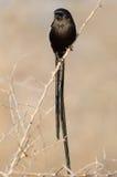 Magpie shrike on thorn branch Stock Photo