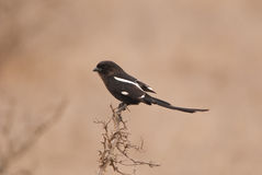 Magpie Shrike Stock Photo