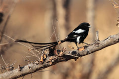 Magpie shrike. The magpie shrike Urolestes melanoleucus, also known as the African long-tailed shrike on the branch royalty free stock image