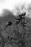 Magpie Shrikes. A group of Magpie Shrikes sitting in a tree top early morning Stock Photos