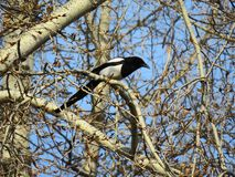 Magpie sits among the branches on the tree royalty free stock photo