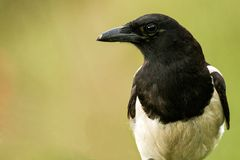 Magpie sits on a stick on a beautiful background royalty free stock photos