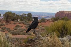 A magpie sits on a tree in front of the desert royalty free stock images
