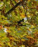 Magpie sitting on a tree stock photo