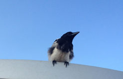Magpie sitting on the roof Stock Photo