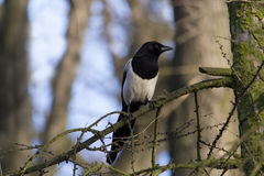 Magpie sitting on tree branch Stock Image