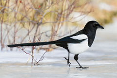 Magpie skating away on the ice Royalty Free Stock Image
