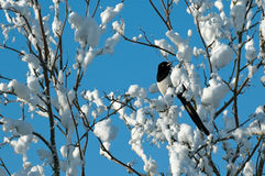 Magpie in snow Stock Photo