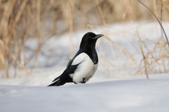 Magpie in snow. Common Magpie (Pica pica)in snow. Moscow region, Russia Royalty Free Stock Photography