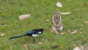 Magpie and squirrel Royalty Free Stock Photo