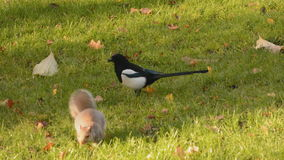 Magpie and squirrels Royalty Free Stock Photos