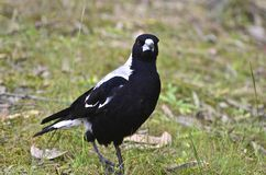 A magpie standing on the ground Stock Photo
