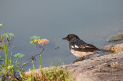 Magpie is standing the riverside. Royalty Free Stock Photos