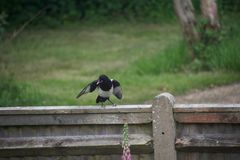 Magpie squawking on a fence stock photography