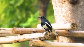 Magpie stay in the branch and refreshing himself. On the shining day. look lovely. Cute stock video footage