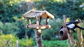 Magpie stealing birdseed. For little wild birds stock video