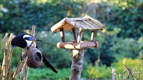 Magpie stealing birdseed for little wild birds stock video
