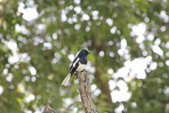 Magpie. The magpie are on the stump Royalty Free Stock Image