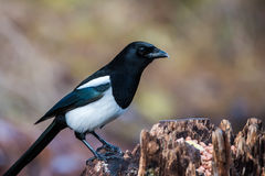 Magpie on the stump Royalty Free Stock Images