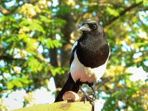 Magpie In The Sun. Was not too happy with this guy, after he carried away a young starling an killed it. But that is nature an he needs to feed his young too stock images