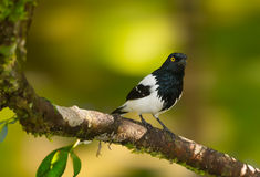 Magpie Tanager Stock Photo