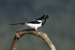 Magpie tanager,  Cissopis leveriana, Royalty Free Stock Image