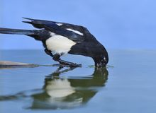 Magpie thirsty. Stock Photos