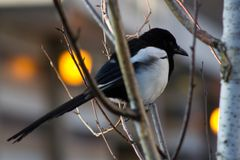 Magpie in tree, back lit by orange lights Royalty Free Stock Photography
