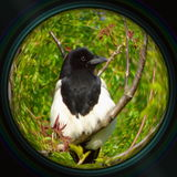 Magpie on tree branch in objective lens Royalty Free Stock Photos